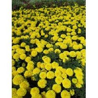 Pan American Marigold Taishan Yellow seeds