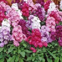 Pan American Matthiola Incana (Stock) seeds