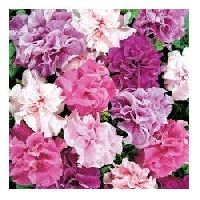 Pan American Petunia Double Cascade mix seeds
