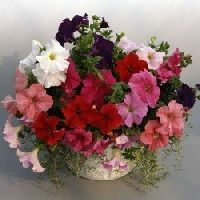 Pan American Petunia Supercascade Mix seeds