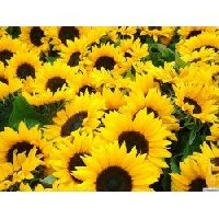 Pan American Sunflower Helianthus Annuus seeds