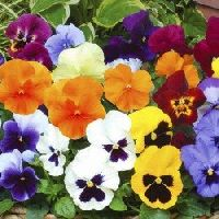 Pansy Swiss Giants Mix Seeds