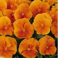 Pansy Swiss Giants Orange Seeds