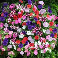 Petunia Dwarf Mix seeds