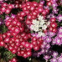 Phlox Twinkle Star mix seeds