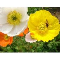 Poppy Iceland mix seeds
