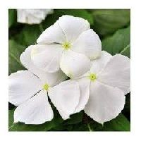 Vinca Dwarf White Seeds