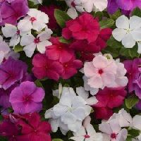 Vinca Rosea Dwarf Mixed Seeds