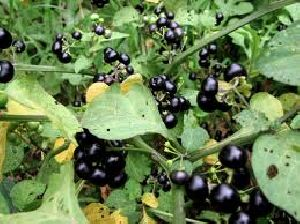 Black Nightshade Herb