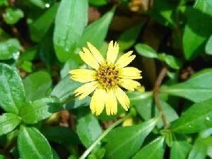Eclipta Alba Plant