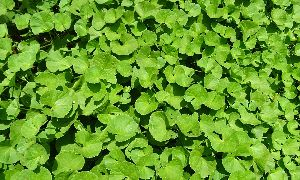 Indian Pennywort Herb