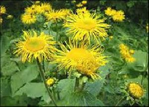Inula Racemosa Herb