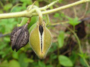 Kaknasa Plant