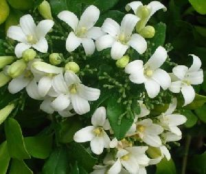 Night Jasmine Herb