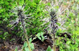 Picrorhiza Kurroa Herb