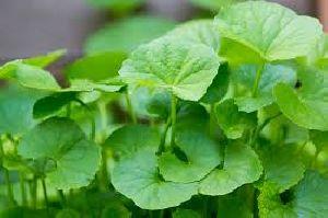 Centella Asiatica Plant