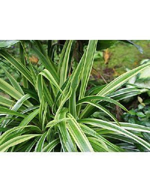 Chlorophytum Borivilianum Plant