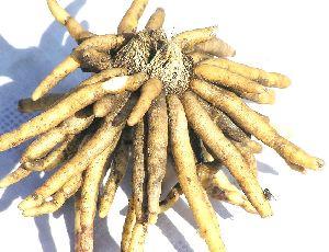 Chlorophytum Borivilianum Tubers