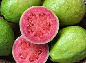 Guava Plant