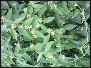 Leptadenia Reticulata Plants