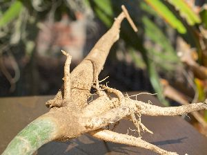 Moringa Dried Roots