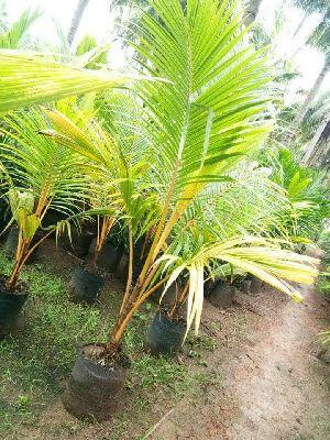 Dwarf Coconut  Plant