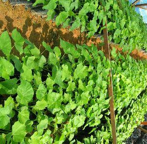Jetufha Plant