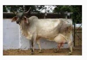 Desi Cow Breeding Service 04