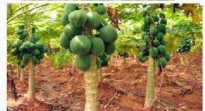 Organic Fruit Farming 04