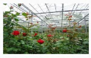 Rose Flower Farming 02