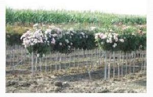 Rose Flower Farming 03