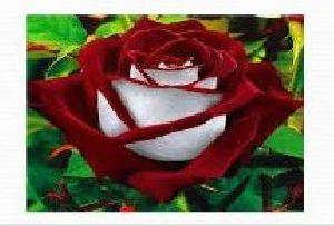 Rose Flower Farming 04