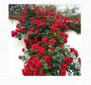 Rose Flower Farming 05