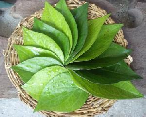 Fresh Betel Leaf 01