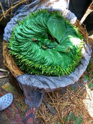 Fresh Betel Leaf 02
