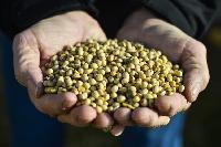 Non GMO Soyabean Seeds
