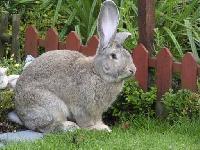 Live Gray Giant Rabbits