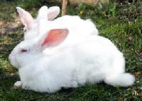 Live New Zealand White Rabbits