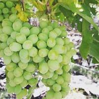 Fresh Grapes 03