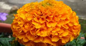 Indian Marigold Flower