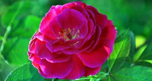 Indian Rose flower