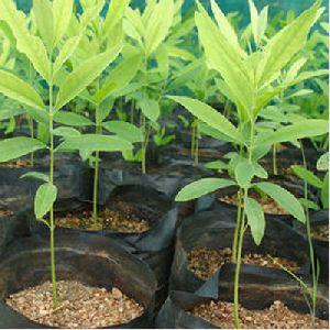 Sandal Plant