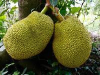 Fresh Jack Fruit