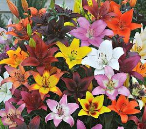 Asiatic Lilium Flower