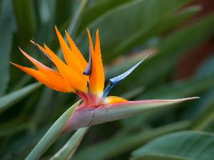 Fresh Bird of Paradise Flowers