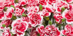 Fresh Carnation Flowers