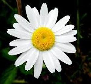 Fresh White Daisy Flowers