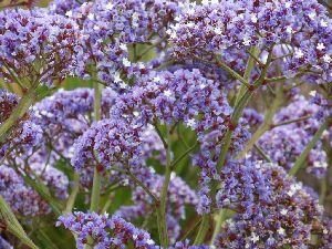 Limonium Flower