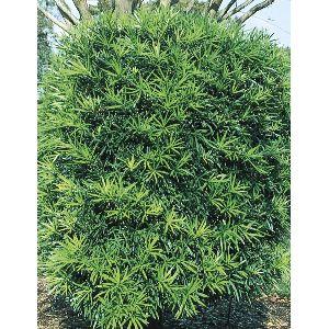 Podocarpus Plant