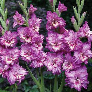 Semi Double Gladioli Flower